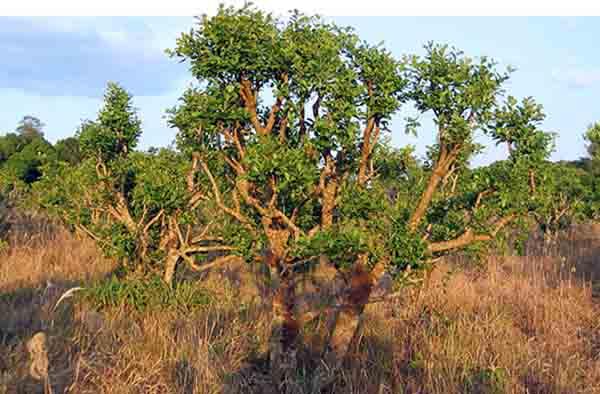 درخت Yohimbe